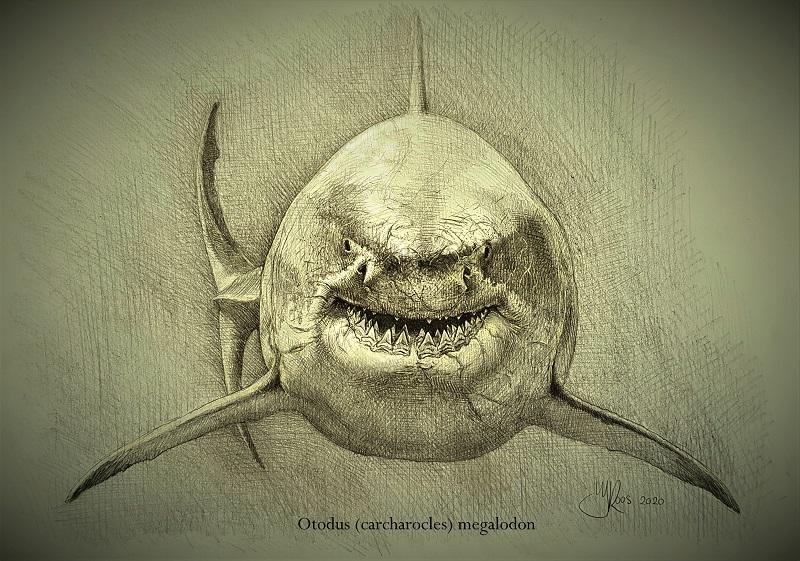 Tekening megalodon vooraanzicht uitgestorven haai