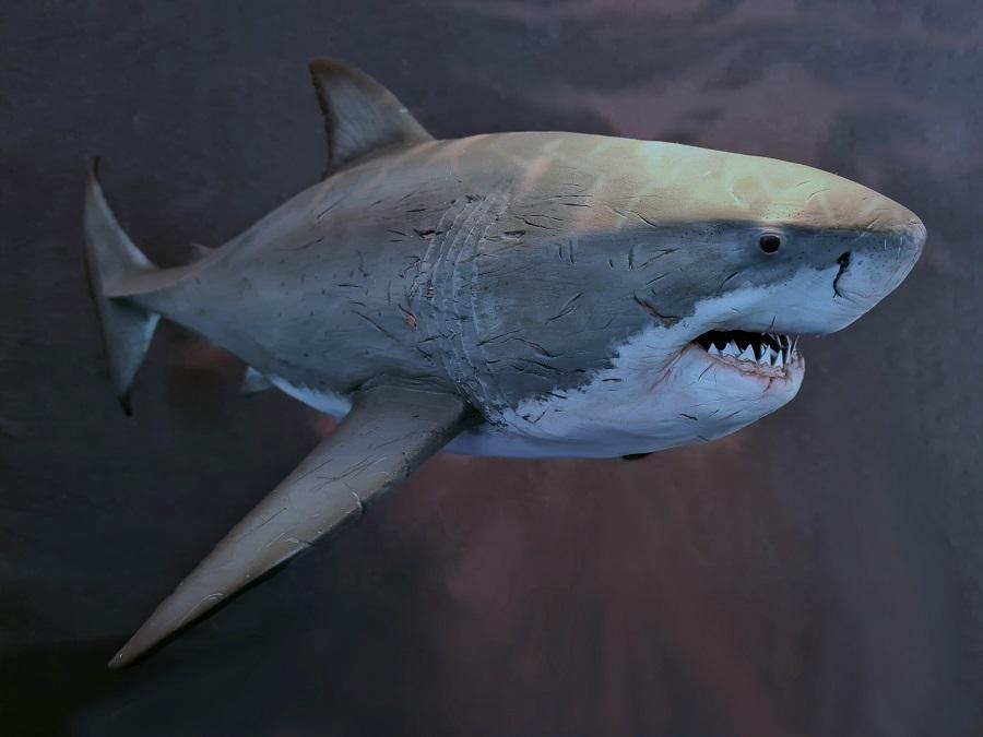 Haaienmodel Carcharocles Otodus megalodon uitgestorven haaiensoort uit het Plioceen /Pleistoceen