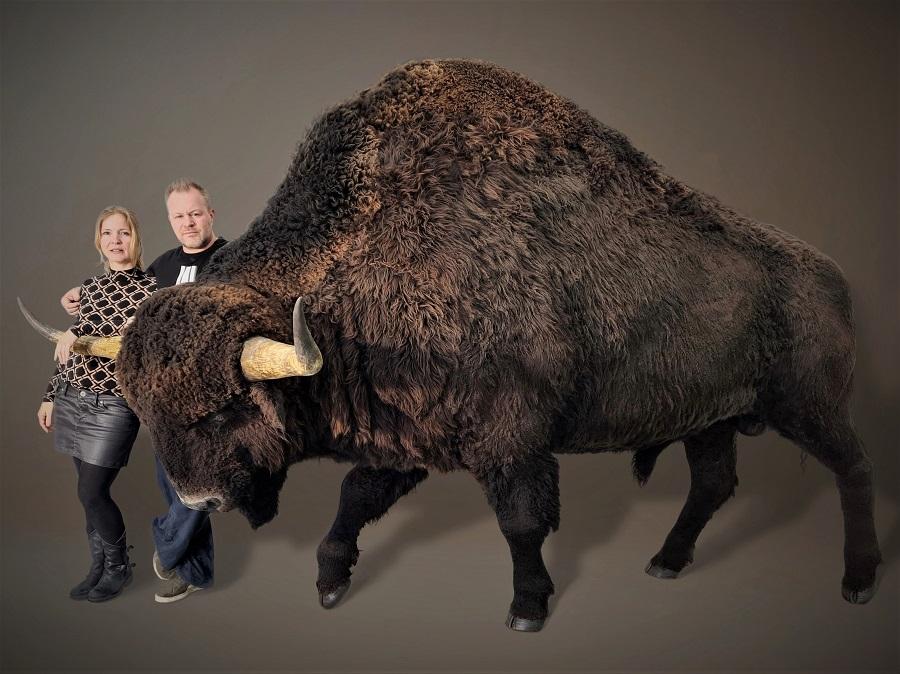 3D model bison priscus. Modelmaker Jaap Roos heeft deze prehistorische wisent, de steppewisent gemaakt.