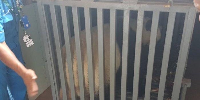 panda raksasa taman safari indonesia