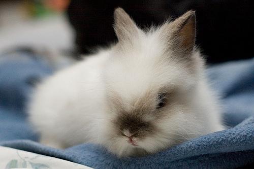 Marshmallow_Fluffy_Bunny