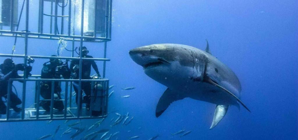 Tiburon blanco Australia