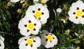 Flores de jara - jabonnatural.com