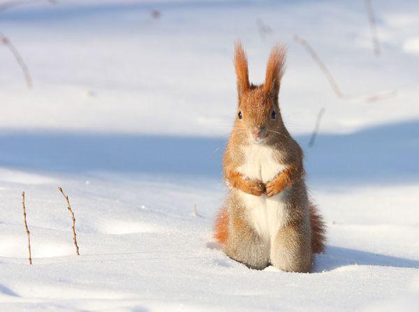 Ardilla roja en la nieve - Polonia