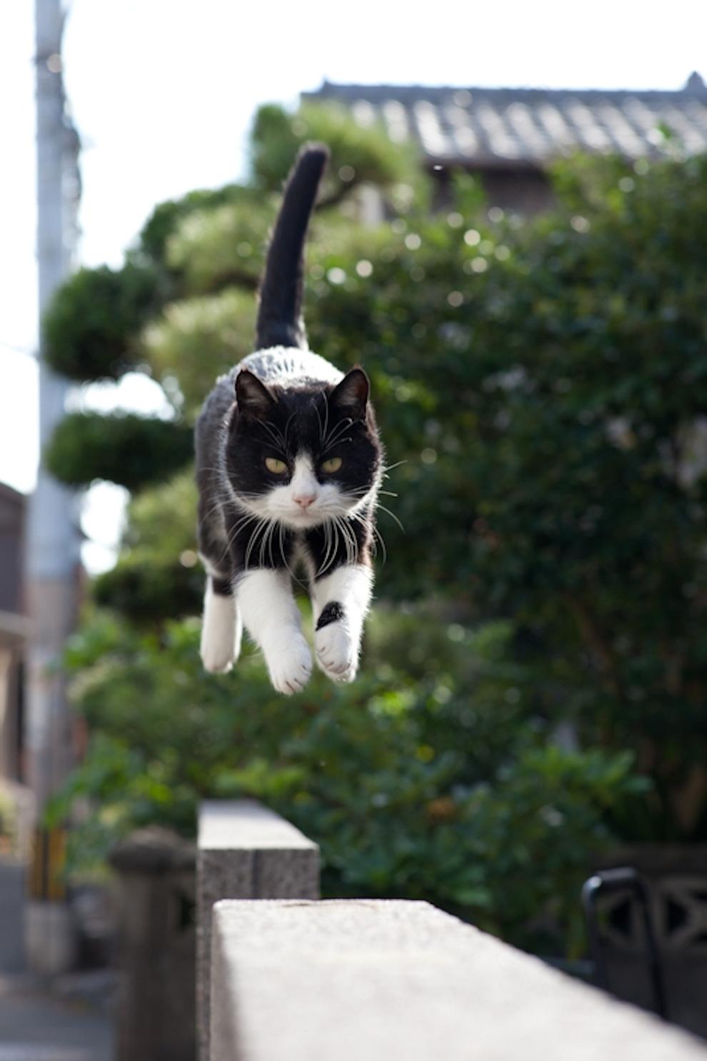 Gato saltando en libertad en Tashirojima, Japón