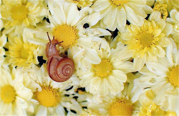 Paisaje de primavera - caracol y margaritas