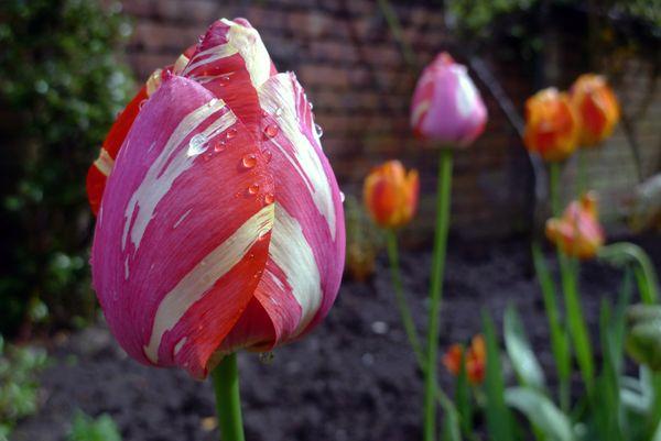 Paisajes de primavera - tulipanes