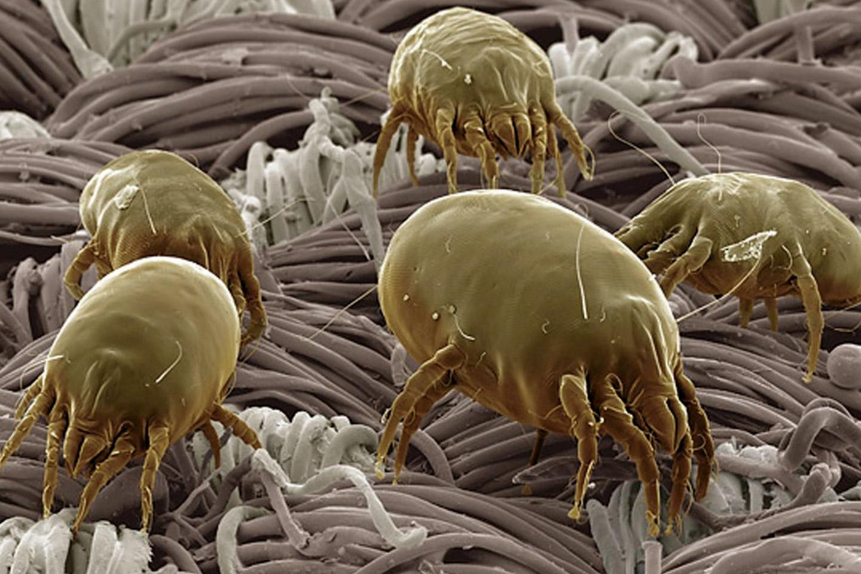 Remedio natural contra los ácaros del polvo