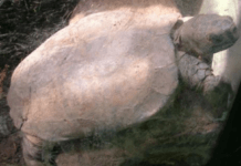 Arakan Forest Turtle, endangered species, turtles