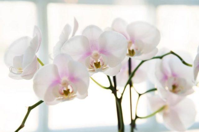 Rezultat slika za orhideja