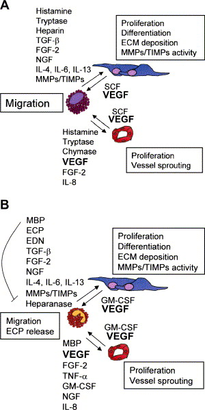 Mast cells and eosinophils: A novel link between