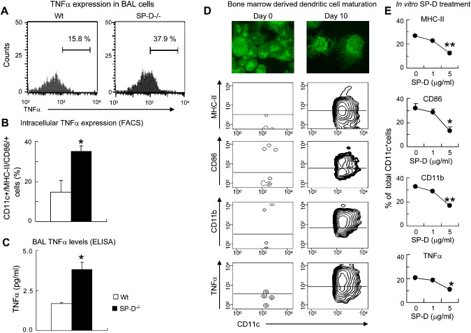 Surfactant protein D inhibits TNF-α production by