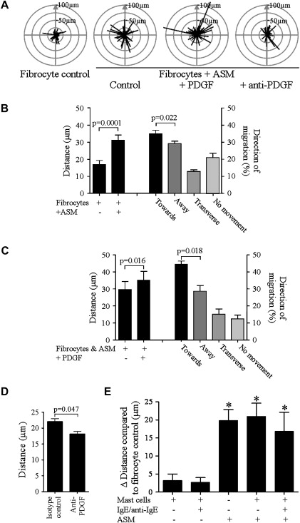 Fibrocyte localization to the airway smooth muscle is a