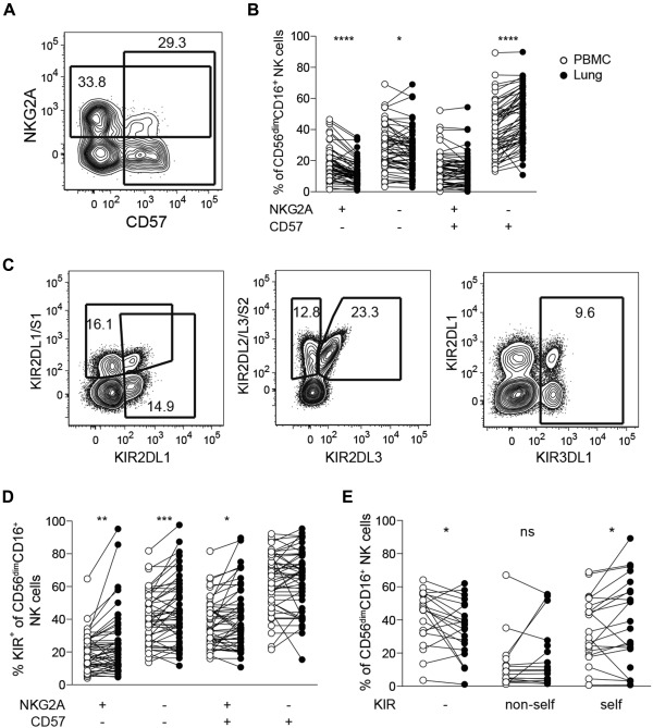 Human lung natural killer cells are predominantly