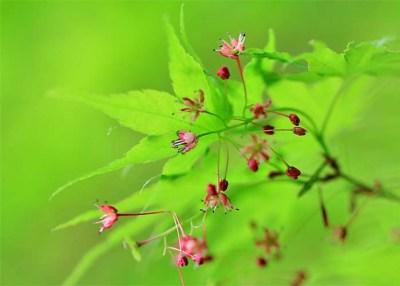 楓の花と実