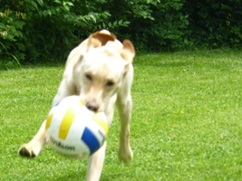 Wilson the Yellow Lab in Action with Soccer Ball