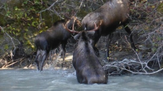 Moose crossing the river.