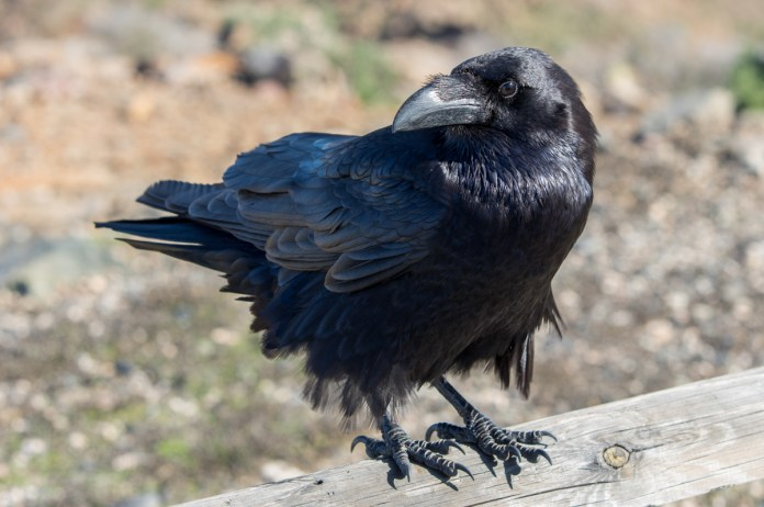 hungry raven