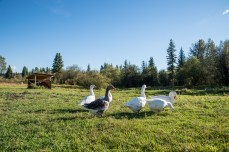 Geese mowing the lawn