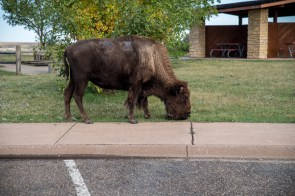 Buffalo at information center