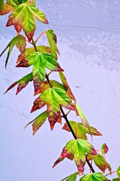 Leaves Take On Their Autumn Colours