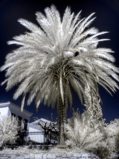 Palm Tree in Infrared