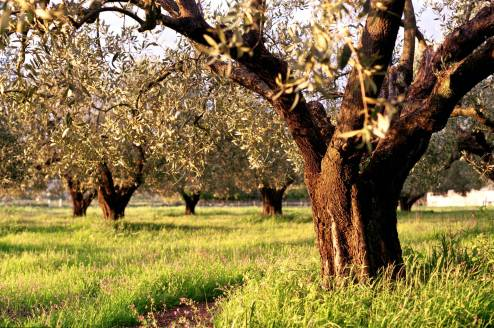 Olive Trees in the Light of the Setting Sun
