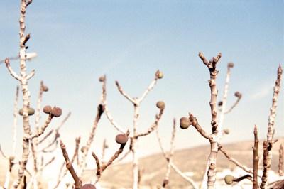 Rotten Figs