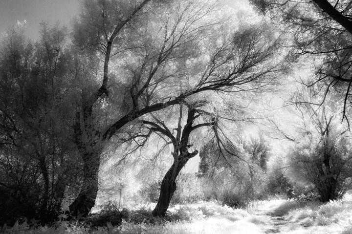Black Trees