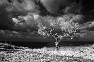 An Olive Tree in Infrared