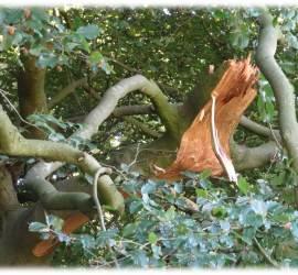 fallen beech branch