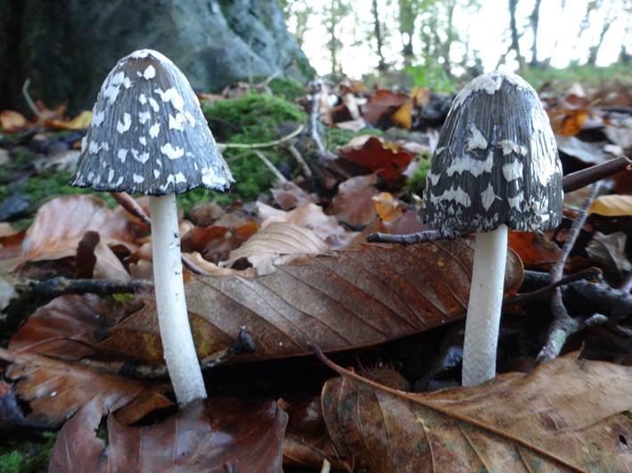 magpie ink cap | foraging | mushrooms | Kent