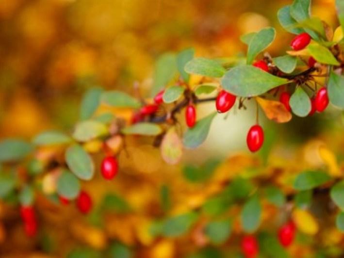 Common barberry berries