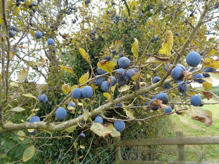 fruit and nuts | foraging | Kent | south east | London