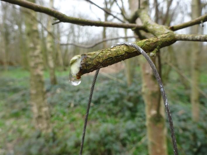 tapping birch trees | bushcraft | foraging | Kent