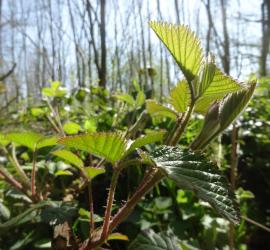 eating bramble shoots | foraging