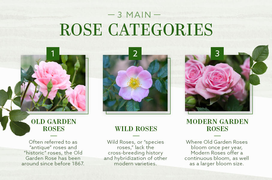 Welcome to gardenroses.co.uk the new and exciting place to shop for all your garden roses online and rose related accessories, part of style roses. The Different Types Of Roses An Ultimate Guide