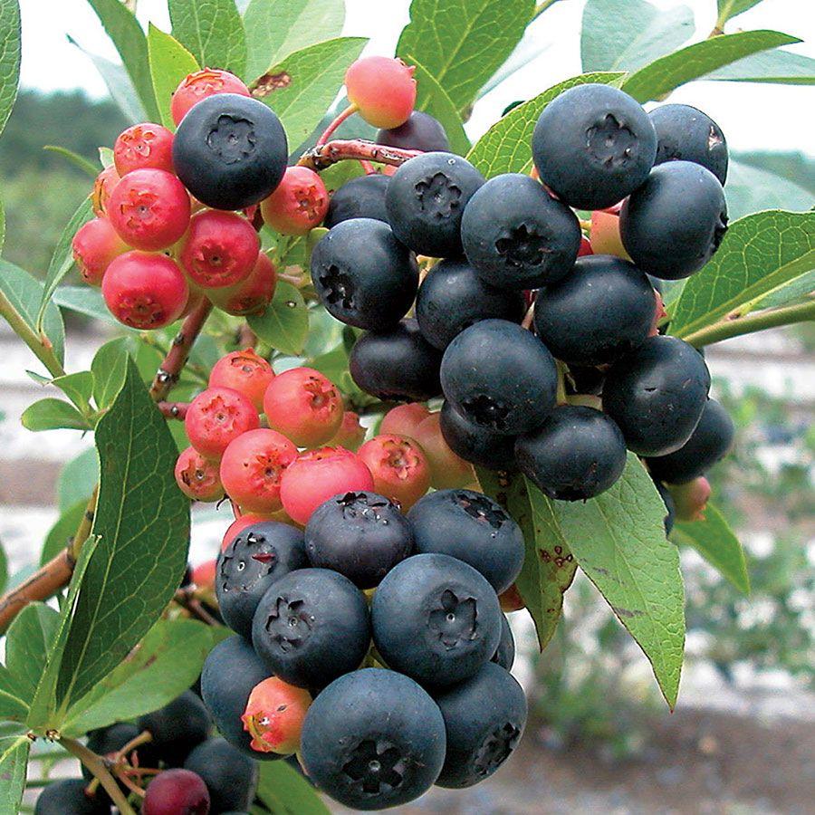 blueberry nocturne