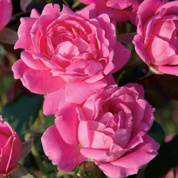 Pink Double Knock 24- Patio Tree Rose