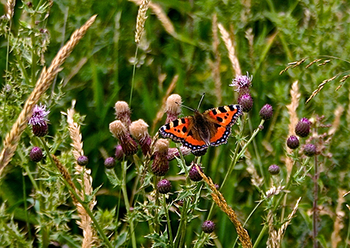 Small tortoiseshell butterfly in the meadow