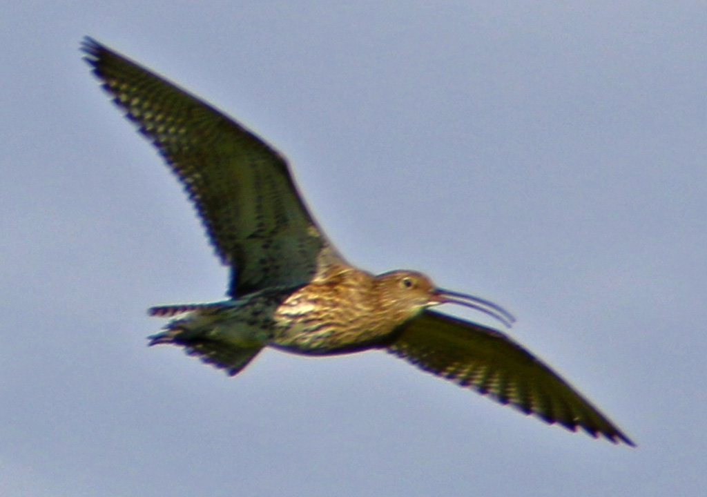Curlew near Stainforth