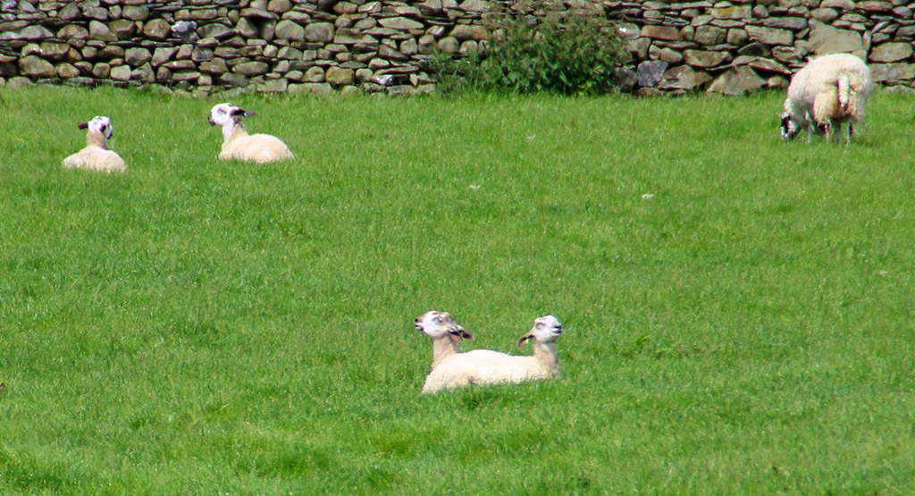 Two-headed sheep near Austwick?