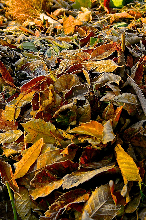 Autumn leaves, St Mary's church, Long Preston