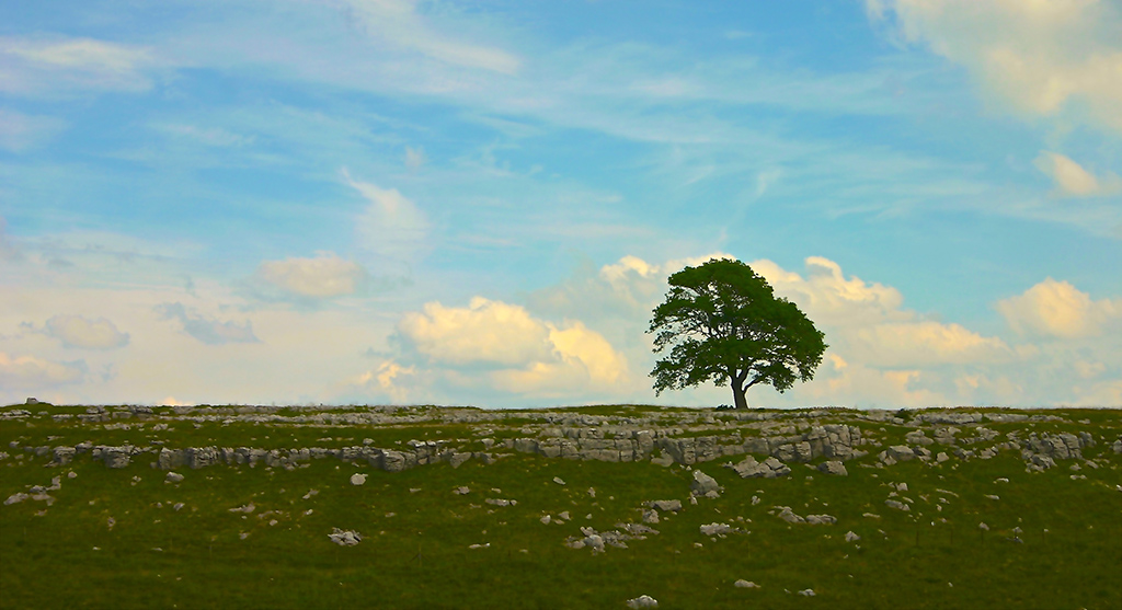 Lone tree near Malham Cove