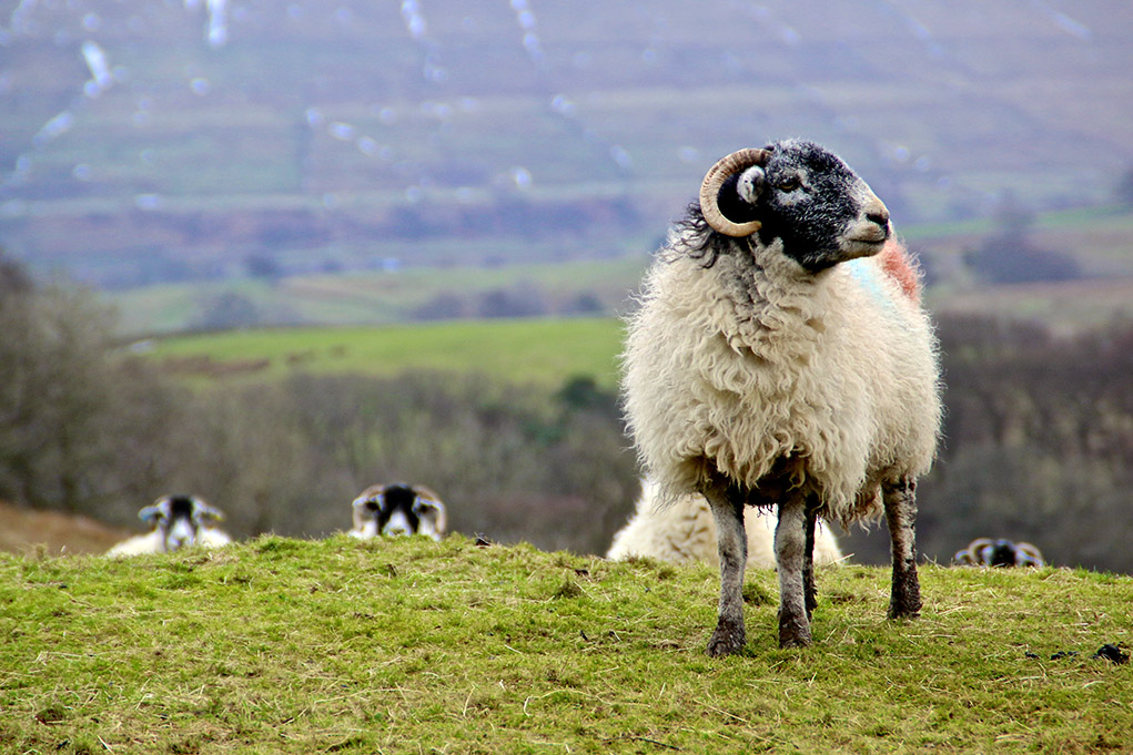 I am the leader - Wensleydale