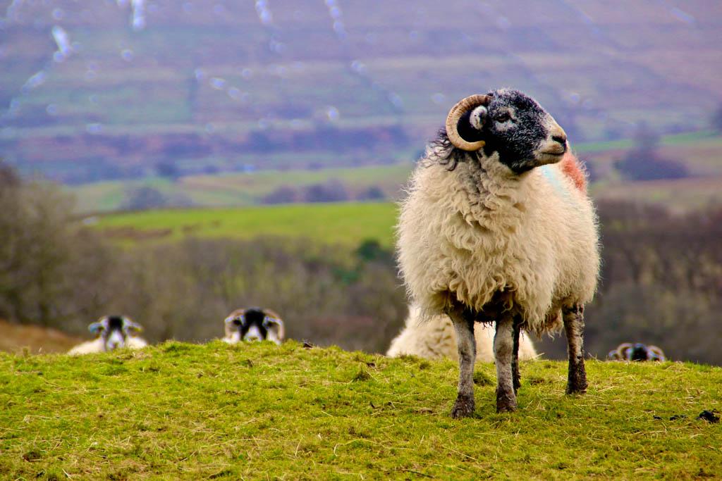 JAN Boss sheep