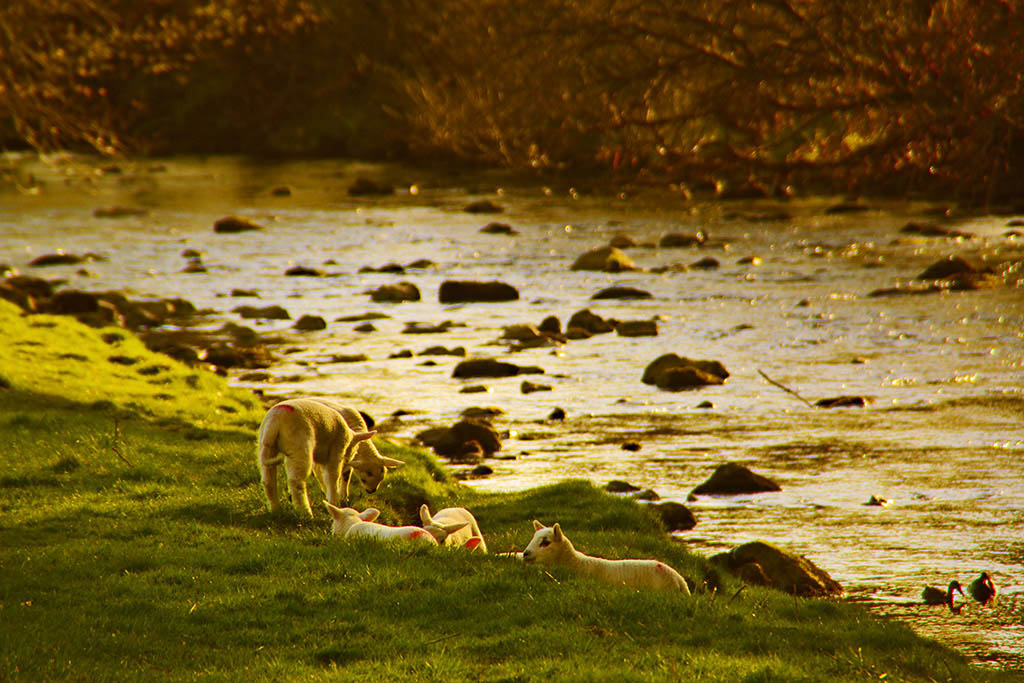 APR Lambs by the Ribble