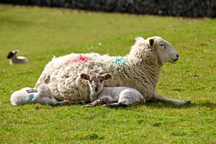 ribblesdale lambs