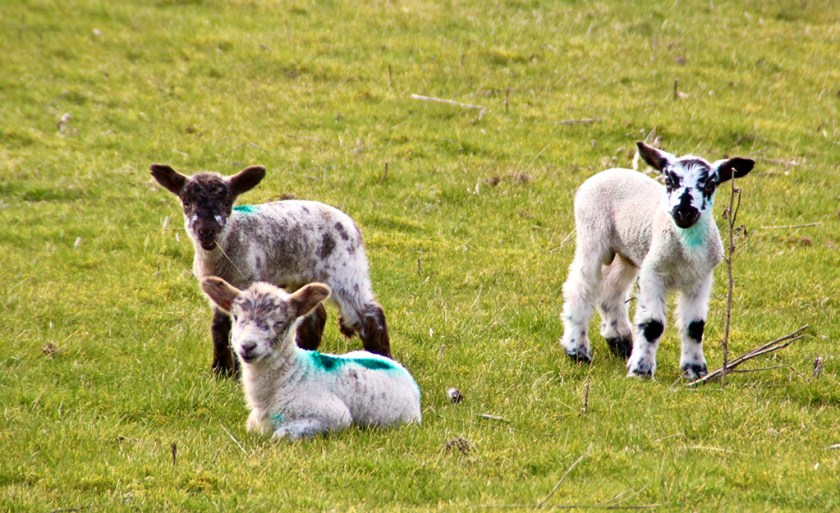 ingleborough lambs
