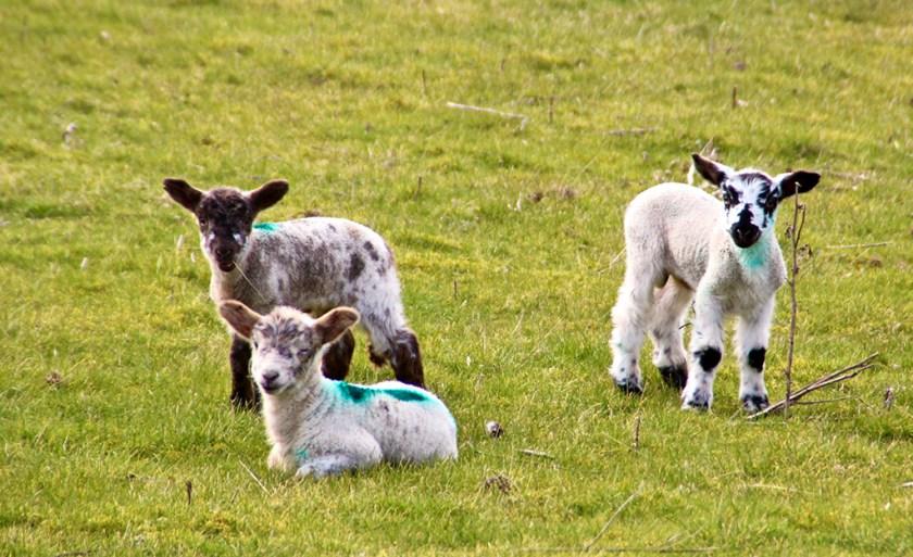 ingleborough lambs